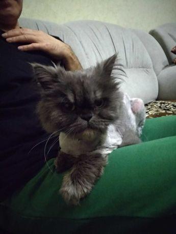 Кошка сиамской породы даром в хорошие руки