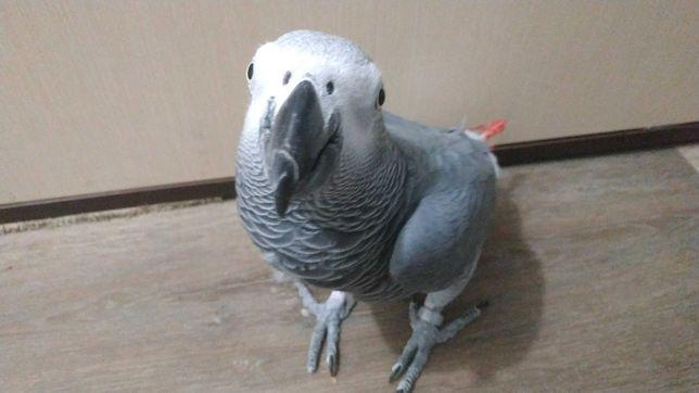 Продам крупного и говорящего попугая, не ара ,и не какаду.