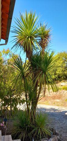 Palmeira 4 metros