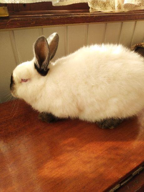 кролики калифорнийской породы чистокровные