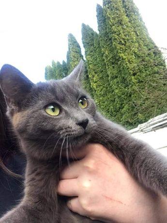 Znaleziono kota: rosyjski niebieski