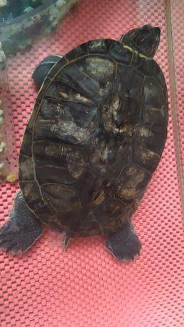Черепаха         .