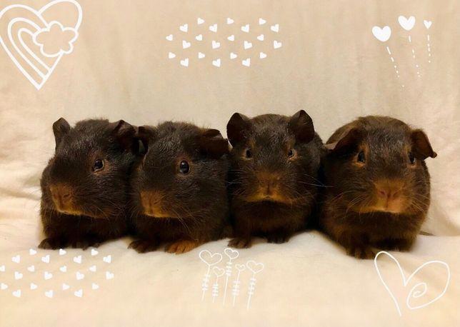 Морская свинка шоколадные девочки