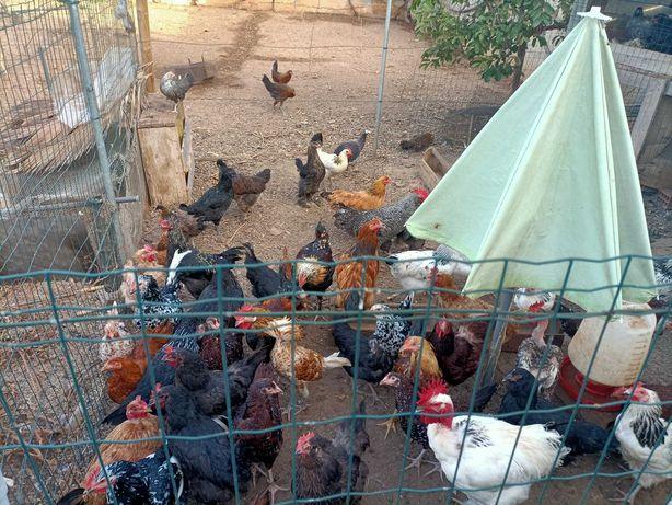 Galinhas e galos e frangas e frangos