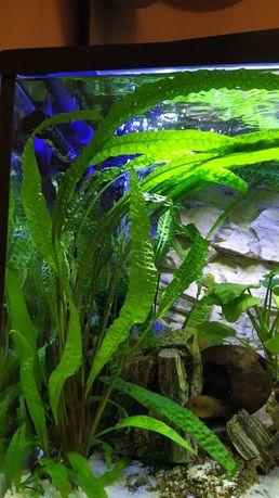 Roslinka, roślina kryptokoryna karbowana