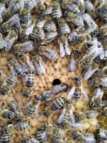 Бджолосім'ї карніка