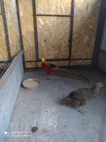 Пара золотых фазанов