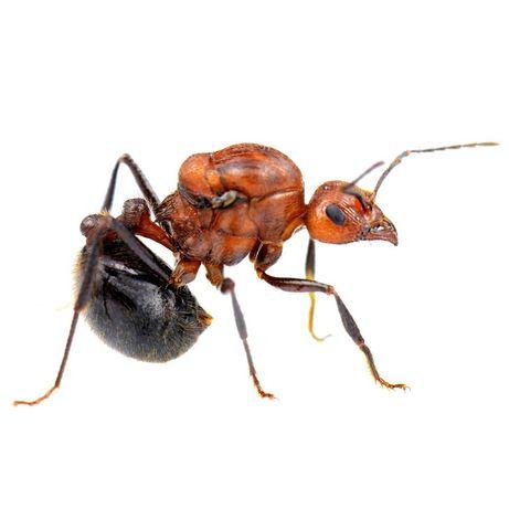 Mrówki Myrmicaria brunnea Q + 20-30 robotnic