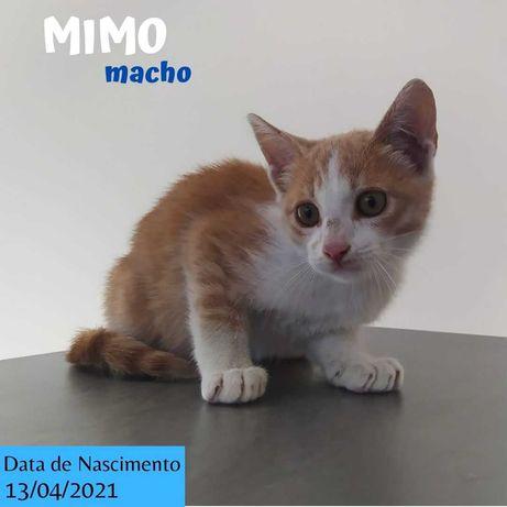 Gatinho 3 meses para adoção (Mimo)