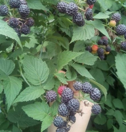 Кумберленд малина черная