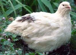 яйца инкубационные Техасского белого перепела и Золот феникса