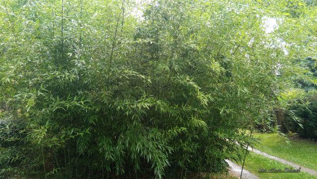 Bambus Bisseta - wielkie sadzonki