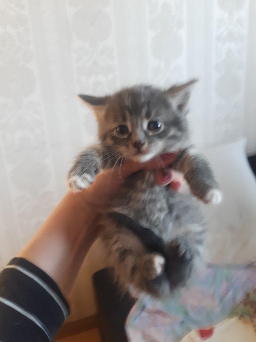 Продам котят от шикарной мамы мейн куна и папы яванца