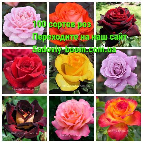 """Продам """"Саженцы роз""""/ Троянди"""