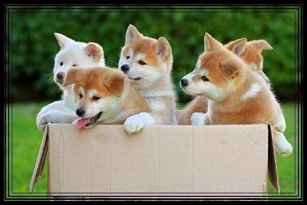 Продам щенков Акиты ину.