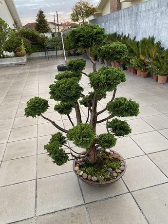 Bonsai Compact Hinoki Cypress