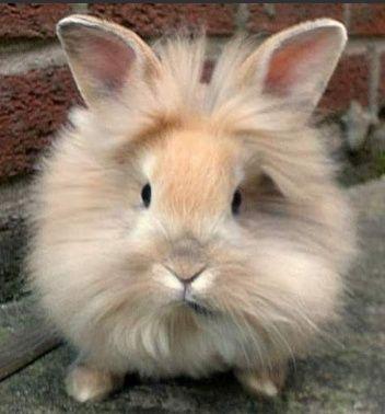 В'язка декоративного кролика