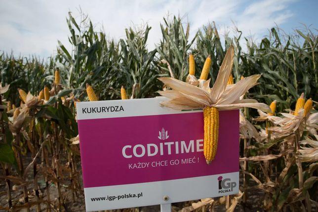 Nasiona kukurydzy IGP Polska Baychaka i Coditime
