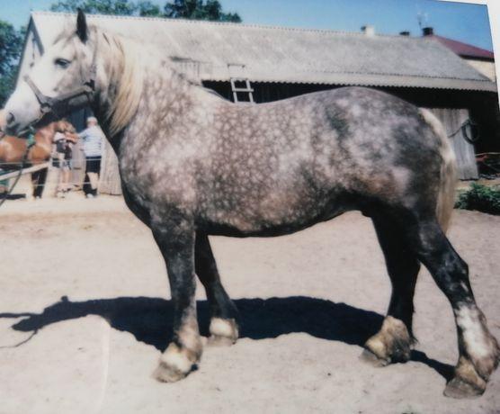 Klacz koń polski zimnokrwisty