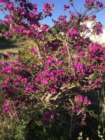 Planta Arvore Boganvillia Tres Marias
