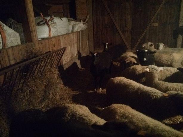 Owce mleczne zwartbles, rasa holenderska