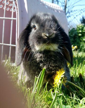 Mini lop króliczki karzełki baranki francuskie podpalane/Black otter