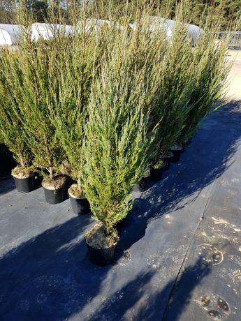 Jałowiec skalny Juniperus scopulorum Blue Arrow