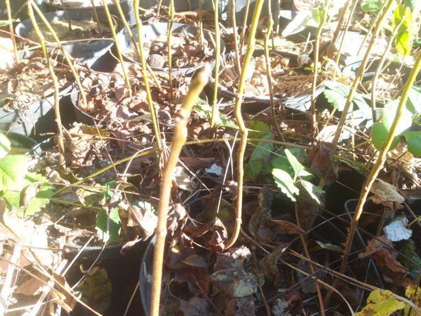 Orzech czarny sadzonki w pojemnikach , doniczka