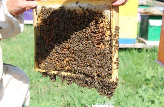Продаю пчёл