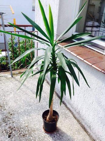 Juka kwiat doniczkowy