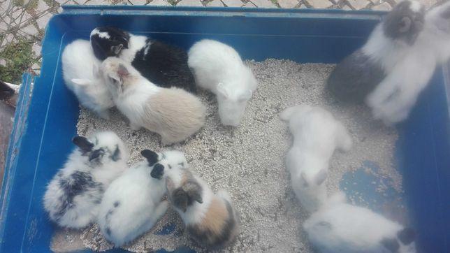 Vendo coelhos anões fofinhos pequeninos