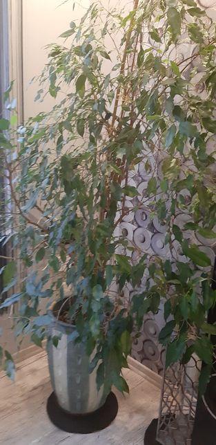 Figowiec Benjamina duży kwiatek domowy ładna doniczka