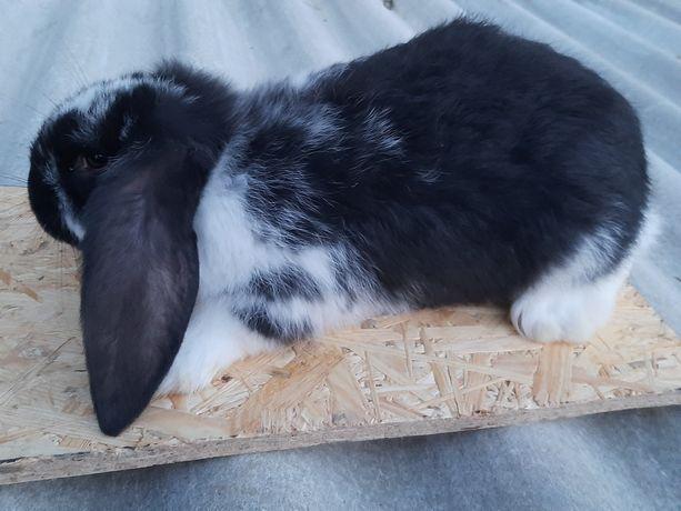 Sprzedam króliki barany francuskie
