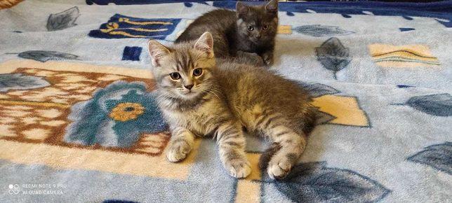 Продам породистых и ухоженных котят