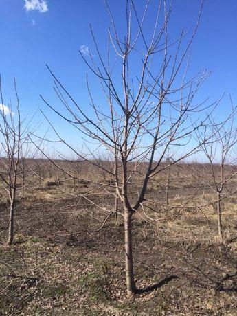 Плодовые деревья 7 - 12 лет.
