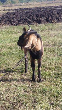 Продам нубійського козла