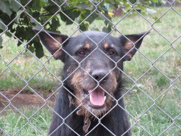 Poker - piękny pies w typie psa myśliwskiego :)