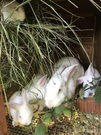 Кролики калифорнийской породы. Реальные фото.
