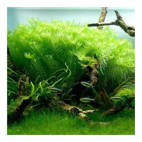 Rotala Rotundifolia Green (gałązka)