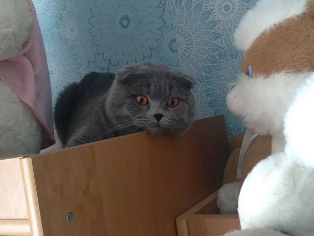 кот шотланской породы приглашает на вязку
