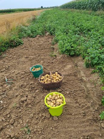 Ziemniaki bez nawozów