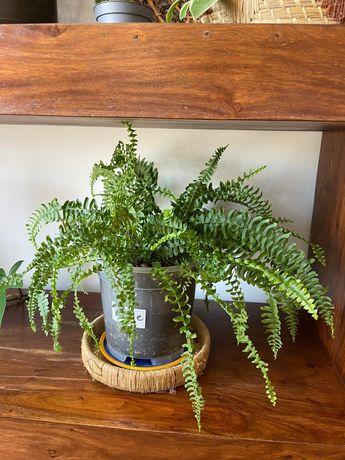 Planta de interior - Feto