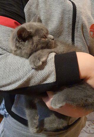 Прямоухий котик.  Окрас голубой