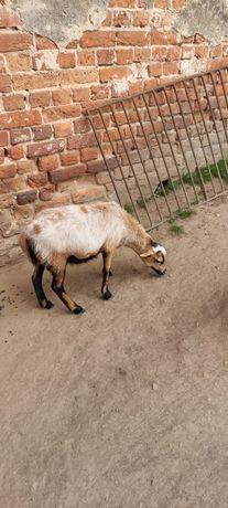 Owca Kamerunska.