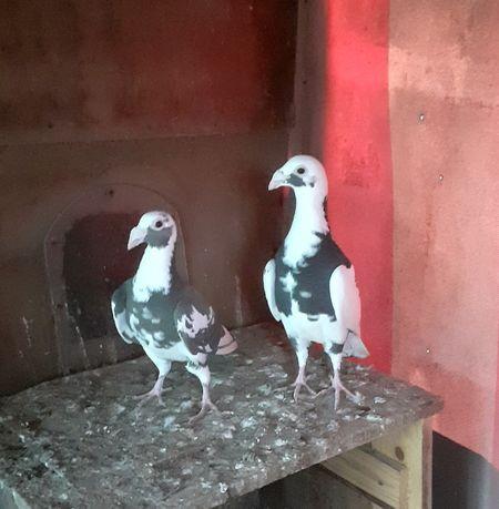 Staropolskie gołębie staropolskie