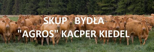 """Skup bydła """"Kacper Kiedel Agros"""" konkurencyjne ceny. Zapraszamy"""