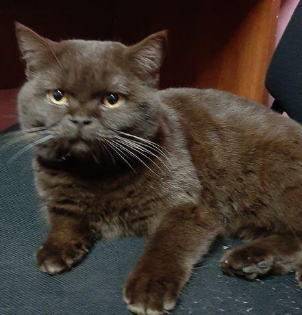 Шоколадний шотландский кот на вязку