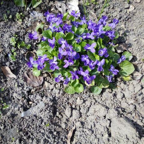 Фиалка садовая куст на фото
