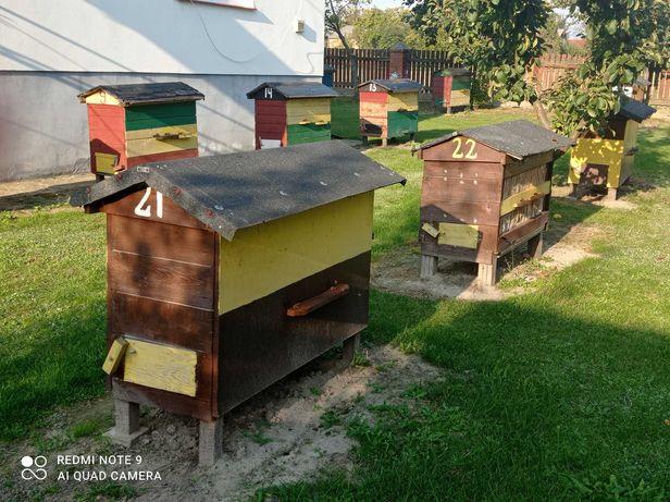 Ule warszawskie zwykłe z rodzinami pszczelimi Rozkopaczew