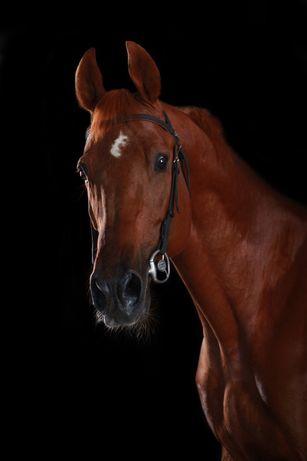 Конь, лошадь, мерин Гамлет для души